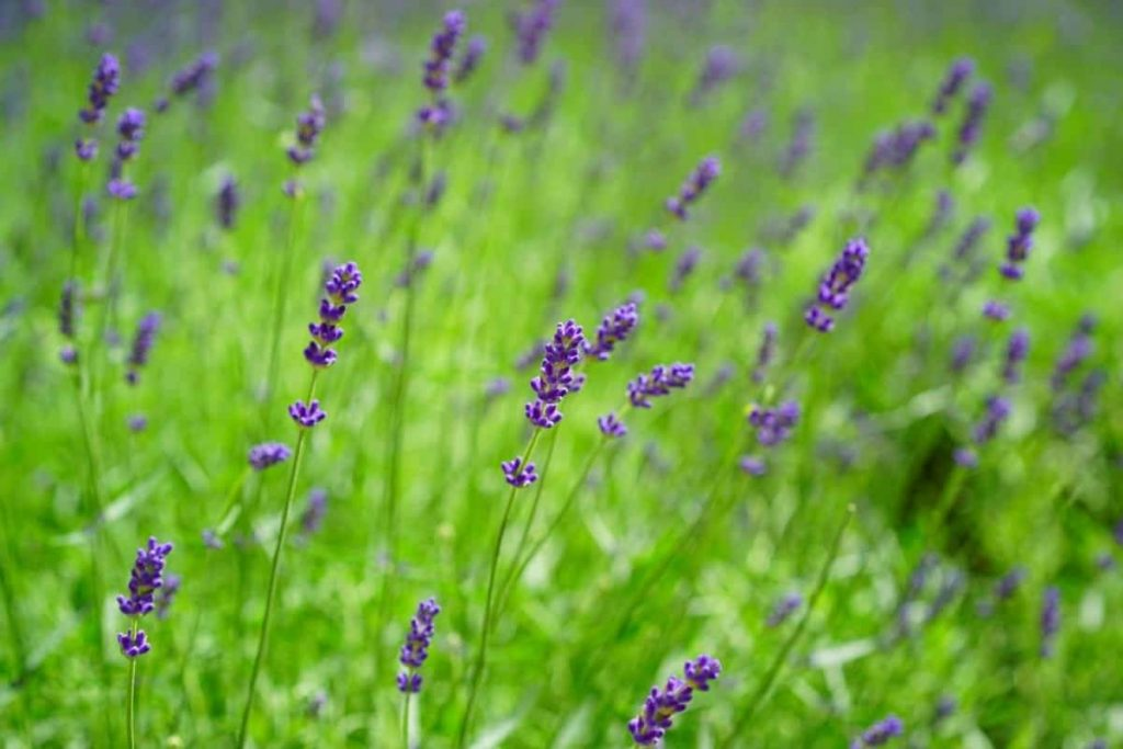 lavender oil benefits Lavender oil uses is believed to have antiseptic and anti-inflammatory properties, which can help to heal minor burns and bug bites.