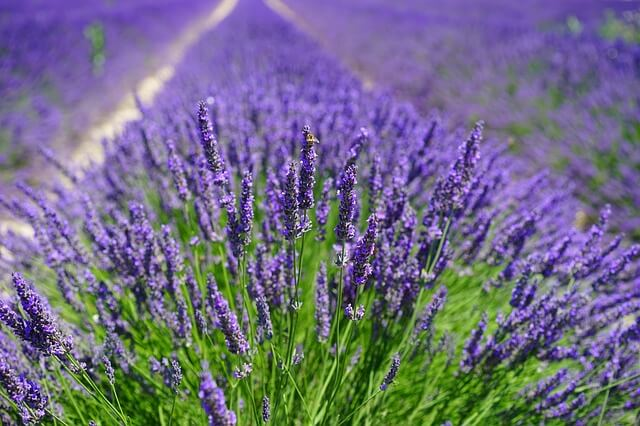 Lavender Oil Benefits and lavender oil uses UsesLavender oil has profound benefits on your skin because of its antimicrobial and antioxidant characteristics. It soothes and nourishes the skin — treating acne, healing dry skin, and reducing the appearance of dark spots and scars caused by acne.