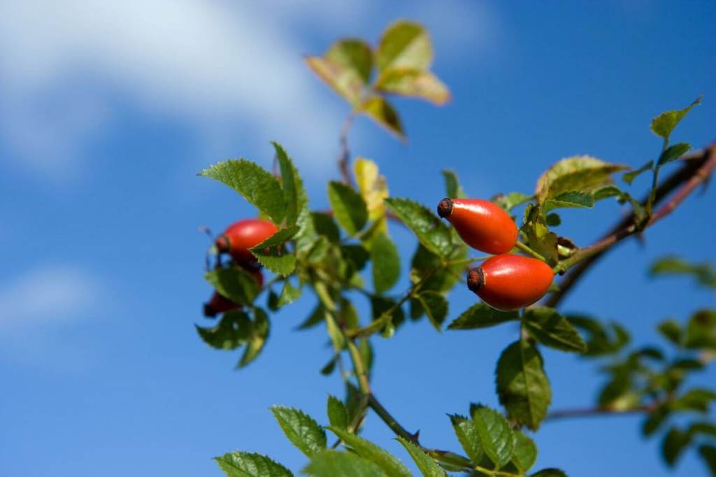 Rose hips are typically red or orange with a fruity and tangy flavor similar to that of cranberries; they can be used as fresh or in dried form. As a rich source of minerals (potassium, phosphorous), vitamins (vitamin C), carotenoids, and flavoring components, rose hips have several culinary and food application
