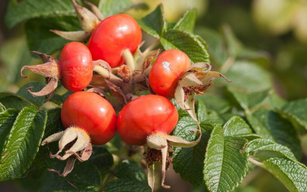 benefits of rosehips oil. Rose hip alleviates joint pain through its immunosuppressive effects. The immune system can contribute to rheumatic diseases. An inflammatory cytokine called Interleukin 1-Beta (IL-1β) causes cartilage cells to produce proteins that digest and break down join tissue. In moderation, this process encourages cell turnover, but in excess, this process contributes to long-term joint tissue degradation,