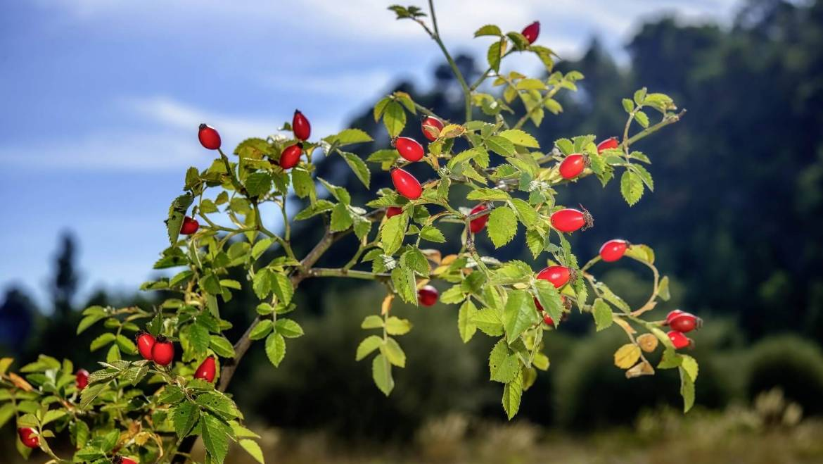 Benefits of Rose hips Oil