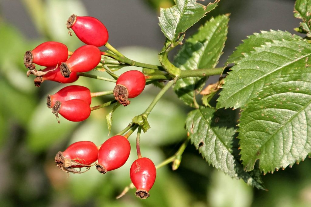 benefits of rosehip oil. rosehip oil is Full of vitamins, antioxidants and essential fatty acids, rosehip oil has a number of benefits for both your skin and your hair. Here are a five key ways in which this simple bottle of this oil can be a complete game-changer for your daily beauty routine.