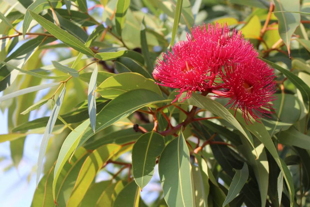 uses of eucalyptus tree. benefits of eucalyptus flower There are over 500 species of Eucalyptus trees, with tough long and narrow bluegreen leaves, creamy white flowers and smooth pale bark