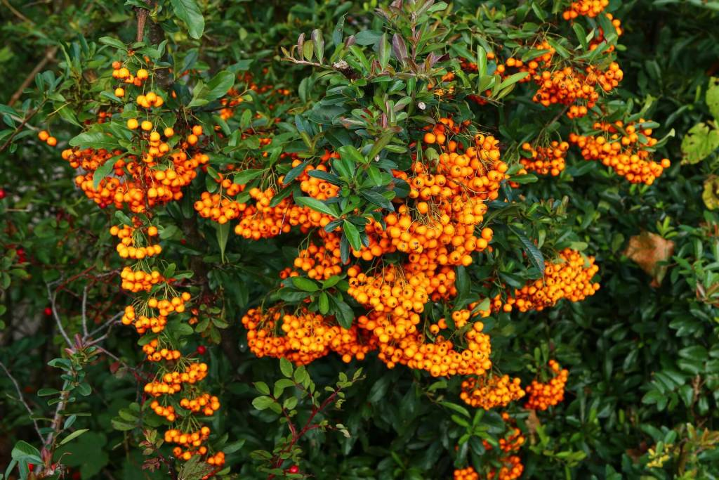 benefit-of-sea-buckthorn-oil . Sea buckthorn (Hipphophae rhamnoides) is a medicinal plant long used in herbal medicine. Sea buckthorn fruit is sometimes used in sweet treats including jams, pies, and drinks.
