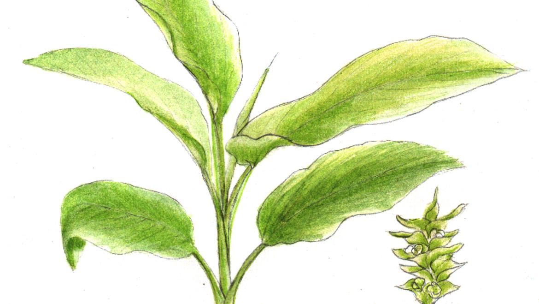 How to Grow Turmeric