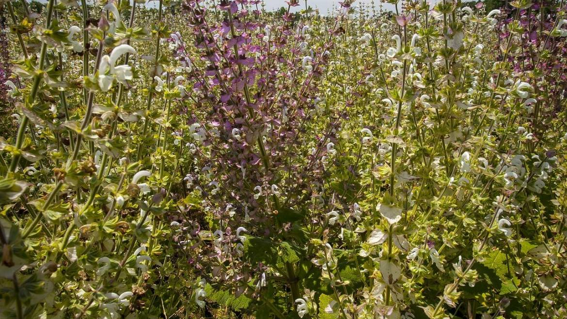 The benefits of Clary Sage essential oil