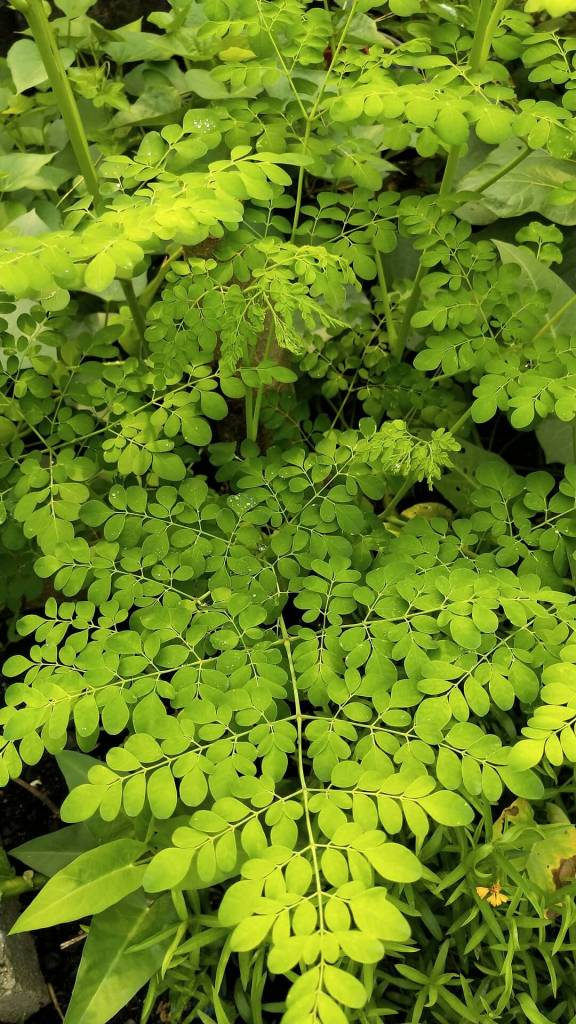 Moringa oleifera is in the family of Moringaceae which has only one single genus with 13 species. The tree can grow well in tropical and subtropical areas, it is native to the northwest region of India, south of the Himalayan Mountains