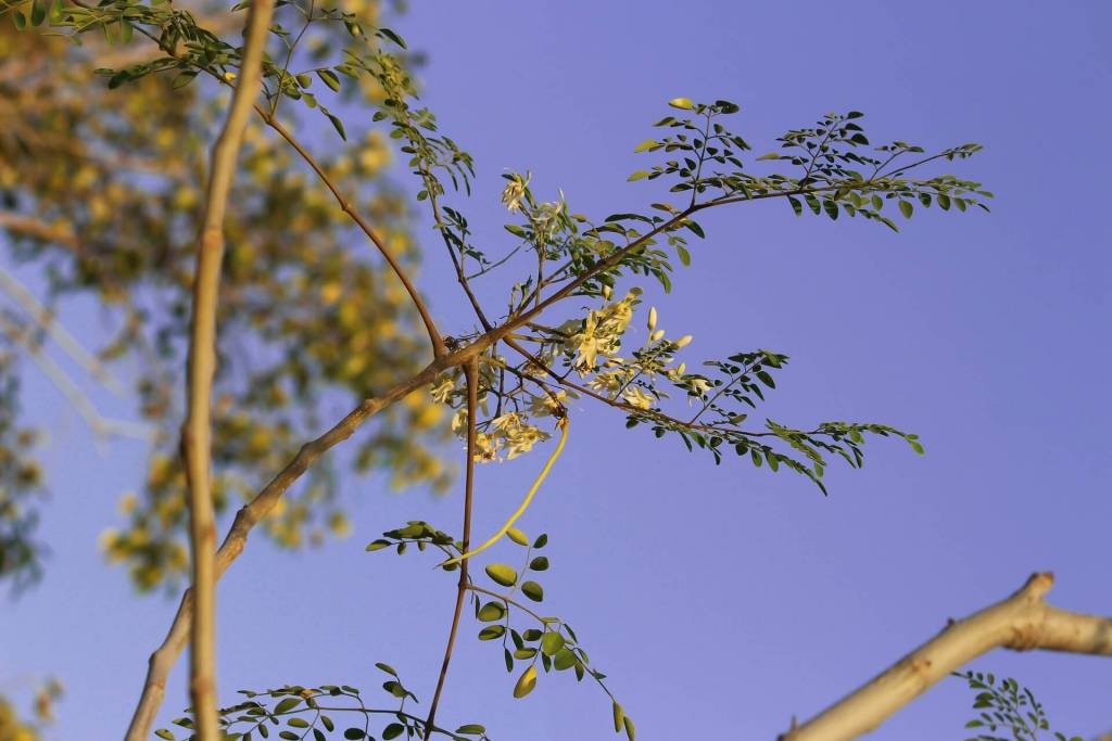 Moringa oleifera belonging to the family of Moringaceae isan effective remedy for malnutrition. Moringa is rich in nutritionowing to the presence of a variety of essential phytochemi-cals present in its leaves, pods and seeds. In fact, moringa issaid to provide 7 times more vitamin C than oranges, 10 timesmore vitamin A than carrots, 17 times more calcium than milk,9 times more protein than yoghurt, 15 times more potassiumthan bananas and 25 times more iron than spinach